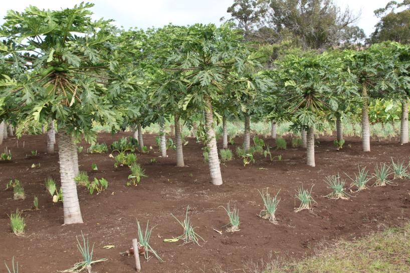 Toromiroträd på Påskön.