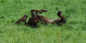 Tar ett bra tag innan hästarna kan rulla sig i det gröna..