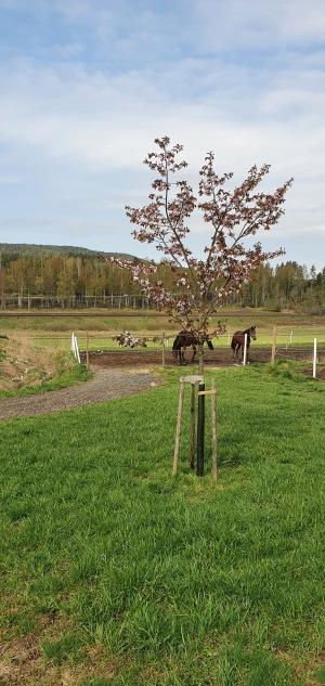 Jula Sannantina och Cally  kollar in när körsbärsträdet står i full blom!