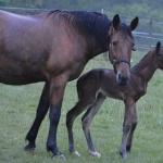 Mamma Strega med nyfött föl