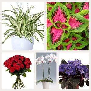 Några ogiftiga växter: Ampellilja, palettblad, rosor, brudorkidé och s:t Paulia