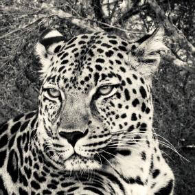 Ljudabsorbent - Afrika - Leopard - Killing Eye - Ljudabsorbent print 120x120x5 cm, svart metallram