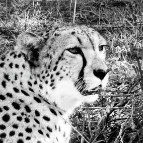 Ljudabsorbent - Afrika - Gepard - Ljudabsorbent print 120x120x5 cm, svart metallram
