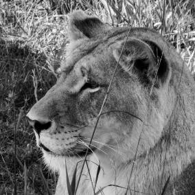 Ljudabsorbent - Afrika - Ung lejonhona - Ljudabsorbent print 120x120x5 cm, svart metallram