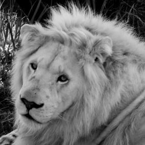 Ljudabsorbent - Afrika - Ung lejonhane - Ljudabsorbent print 120x120x5 cm, svart metallram