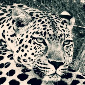 Ljudabsorbent - Afrika - Vilande leopard - Ljudabsorbent print 120x120x5 cm, svart metallram