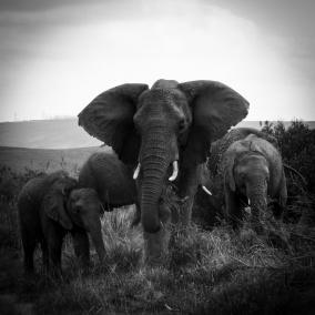Ljudabsorbent - Afrika - Elefanter - Ljudabsorbent 120x120x5 cm, svart metallram