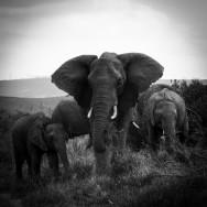 Ljudabsorbent - Afrika - Elefanter