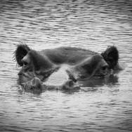 Ljudabsorbent - Afrika - Flodhästen