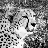 Ljudabsorbent - Afrika - Gepard