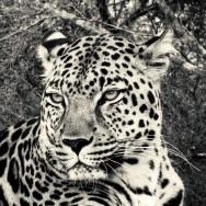 Ljudabsorbent - Afrika - Leopard - Killing Eye