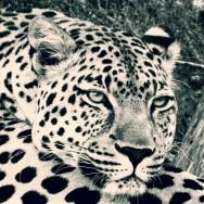 Ljudabsorbent - Afrika - Vilande leopard