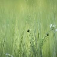 Korn med blomma
