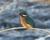 2016-01-22 kungsfiskare 405 (3)