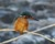 2016-01-22 kungsfiskare 678 (4)