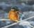 2016-01-22 kungsfiskare 815 (3)