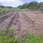 Potatisen i jorden!