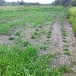 Potatisen växer, tyvärr även ogräset!