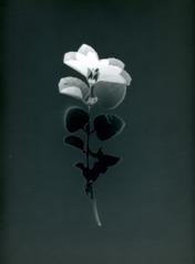 Skammens och rodnadens blommor