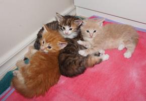 Om du är intresserad av en kattunge är du välkommen att höra av dig till  mig. Jag lovar inte bort kattungarna förrän de är åtminstone några veckor  gamla men ... 58e9532231c66