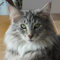 CH S*Kronängens Kitty Pryde, NFO ns 09 24
