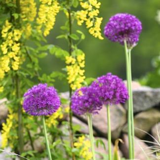Bio-odlade Allium Purple Sensation, 5-pack