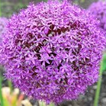 Allium Gladiator, 5-pack