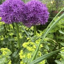Allium Globemaster®, 3-pack