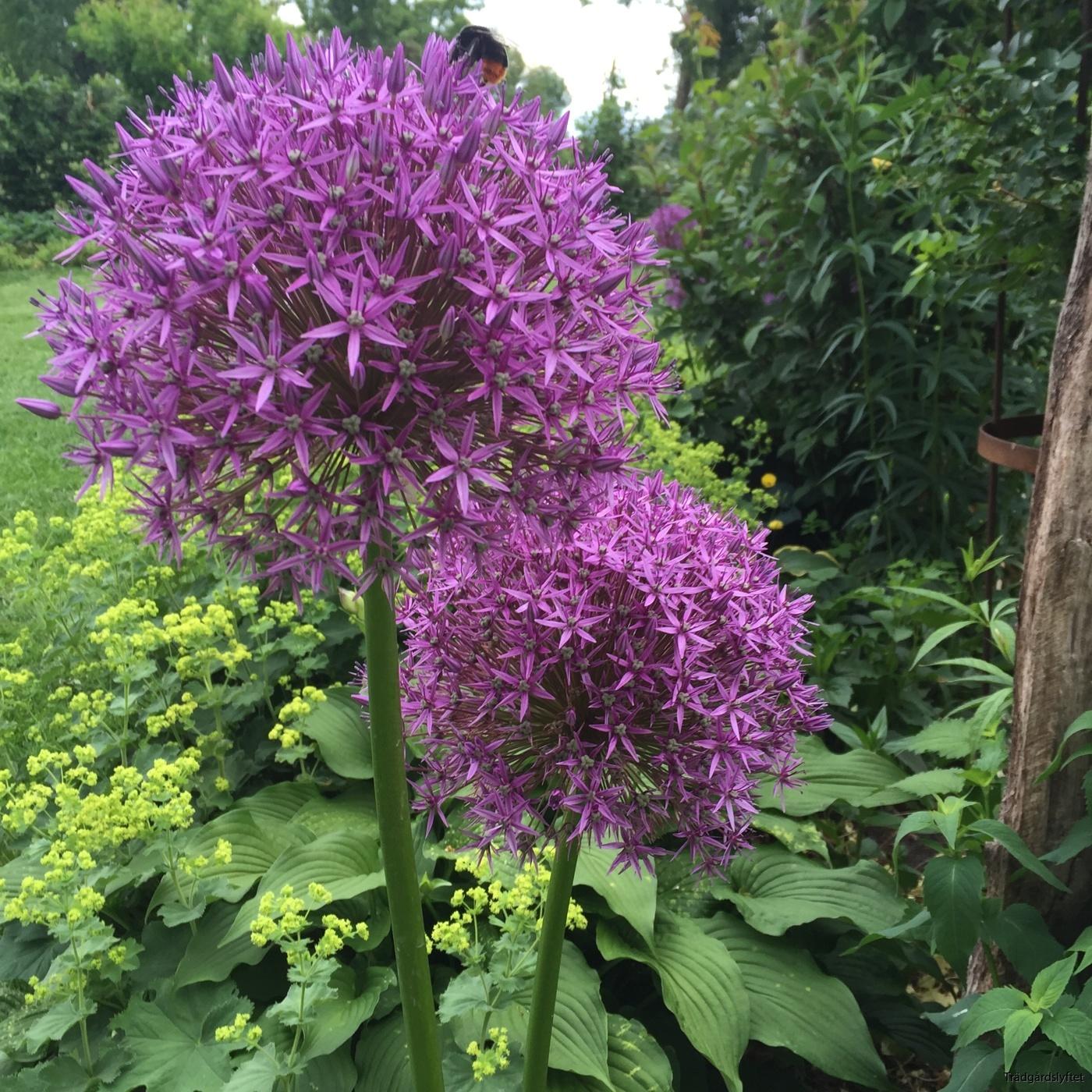 Allium Globemaster®