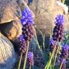 Muscari latifolium - biolökar, 5-pack