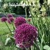Allium 'Ostara'®