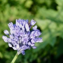 Allium caesium, 5 lökar