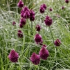 Allium sphaerocephalon, 10-pack