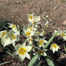 Tulipa turkestanica - Biolökar