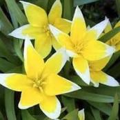 Tulipa tarda - Biolökar