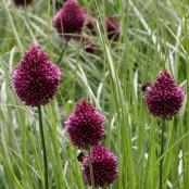 Allium sphaerocephalon (klotlök), 5-pack