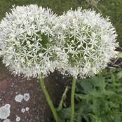 Allium stipitatum Mont Blanc