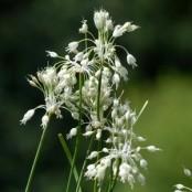 Allium Carinatum ssp. pulchellum Album (vit dropplök),  5-pack