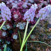 Muscari 'Pink Sunrise'®,5-pack