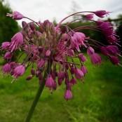 Allium carinatum sap. pulchellum, 5-pack