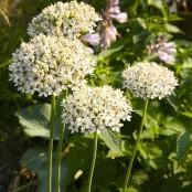 Allium nigrum, 3 st
