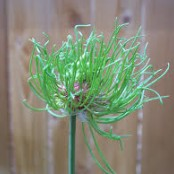 Allium vineale Hair®
