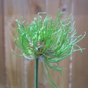 Allium vineale Hair®