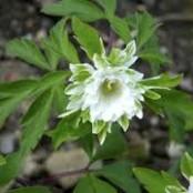 Anemone nemorosa 'Bracteata Pleniflora', 3-pack