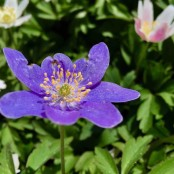 Anemone nemorosa 'Royal Blue (blå vitsippa)', 3-pack