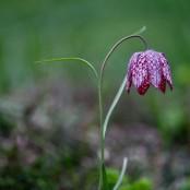 Fritillaria meleagris - Bio-lökar