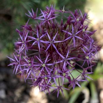 Allium Christophii (Stäpplök)