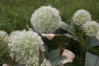 Allium Ivory Queen®