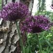 Allium atropurpureum (Vinlök)