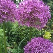 Allium Globemaster®, 3-pack